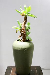 绿瓶插花发芽