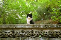 北京八大处龙泉庵墙上的家猫