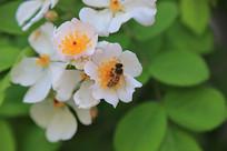 白月季花蜜蜂采蜜