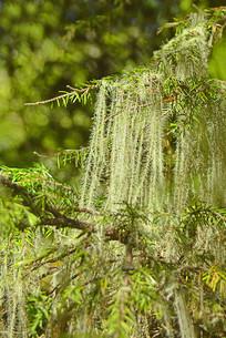 四川阿坝州高原地衣植物松萝