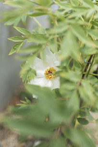 盛开的盆栽白色芍药图片