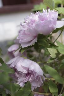 盛开的盆栽粉色牡丹