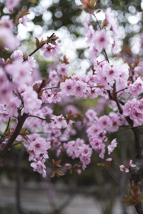 盛开的樱花丛林