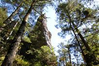湖北神农谷森林仰拍