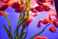 绿色水草和红色鱼群