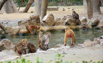 游泳的猴子图片