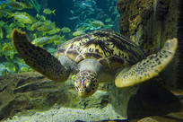 自由游动的海龟