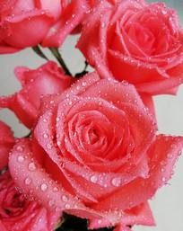 带露珠的红色的玫瑰花