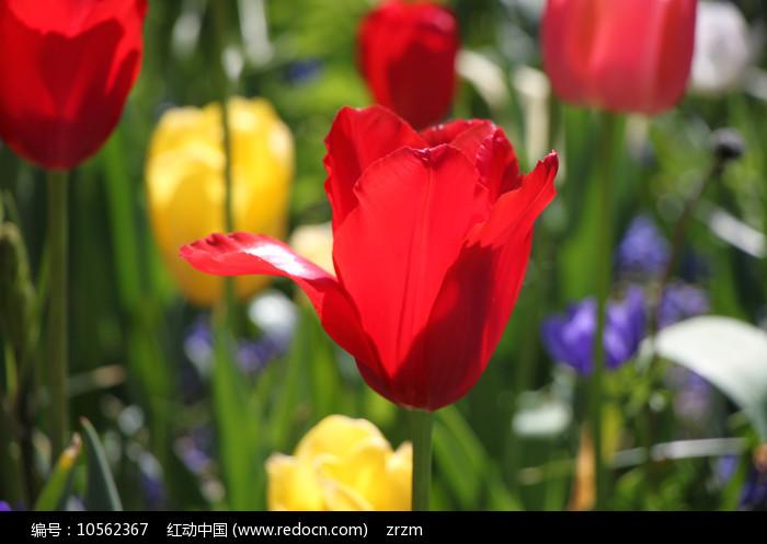 红色的荷兰郁金香图片