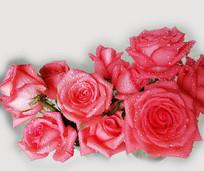 一束红色的玫瑰花卉