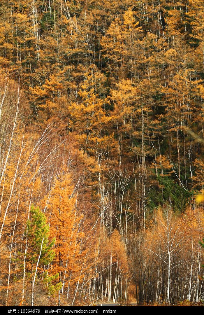 大兴安岭金色的树林风景 图片