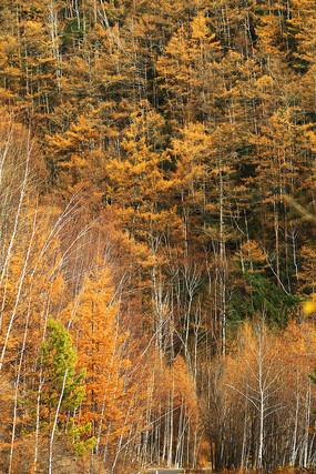 大兴安岭金色的树林风景