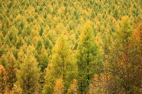 大兴安岭秋季树林风景