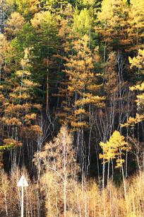 大兴安岭晚秋树林