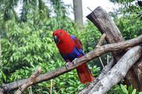 红胁绿鹦鹉