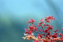 紫红鸡爪槭