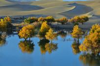 金色的新疆水胡杨