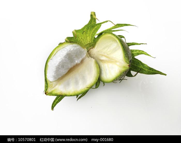棉花桃子图图片