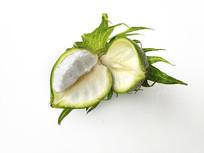 棉花桃子图