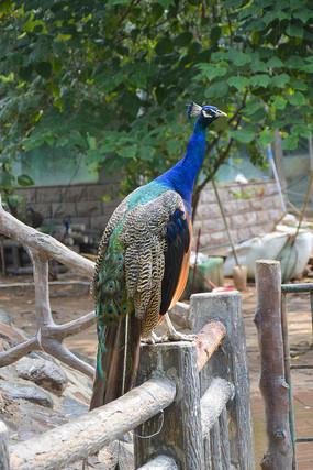 漂亮的蓝孔雀