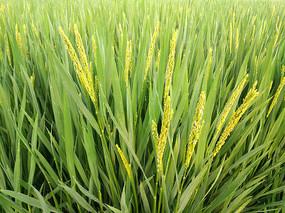 特写水稻花
