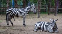 动物园的斑马特写