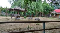 动物园里的斑马