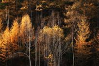 鎏金的森林