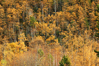 金秋树林风景
