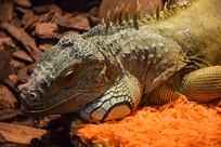 绿鬣蜥图片