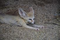 妩媚的狐狸眼睛