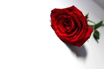 玫瑰花一枝