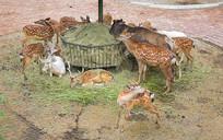 休闲吃草的梅花鹿