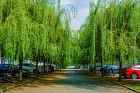 鞍山职教城两排柳树与柏油马路