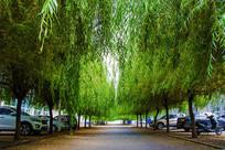 鞍山职教城两排柳树与人行路