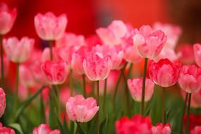 粉色的郁金香