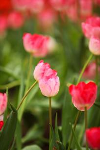 粉色郁金香花