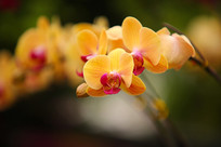 黄色蝴蝶兰