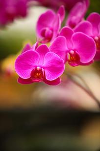 蝴蝶兰花朵特写