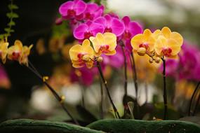 两种颜色的蝴蝶兰