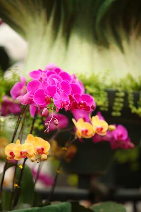 漂亮的蝴蝶兰
