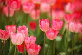 盛开的粉色郁金香