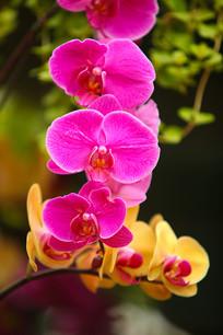 紫色蝴蝶兰特写