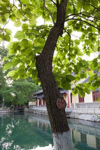 济南珍珠泉景区梓树
