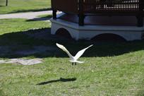白色的鸽子