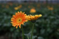 橙红色太阳花