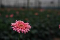 粉色的太阳花
