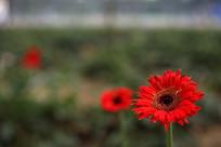 红色的太阳花