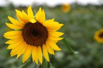 黄色的向日葵