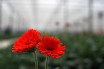 两朵红色太阳花